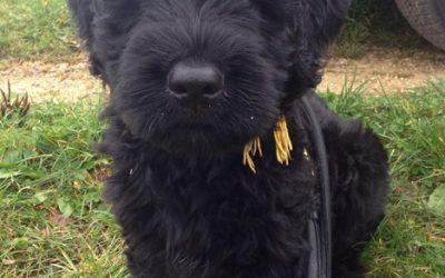 Tipps für die Sicherheit des Hundewelpen – Bouvier des Flandres